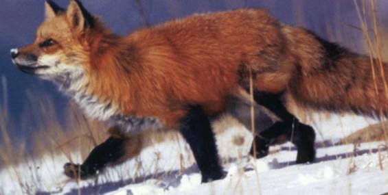 Хромая лисица