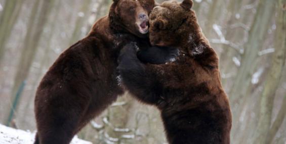Медведь и вожак